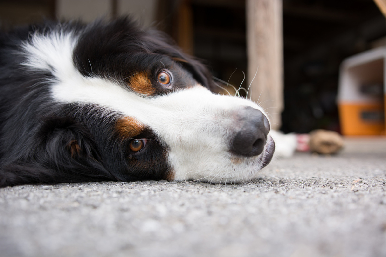 3 Great Home Remedies to Settle Your Dog's Upset Stomach