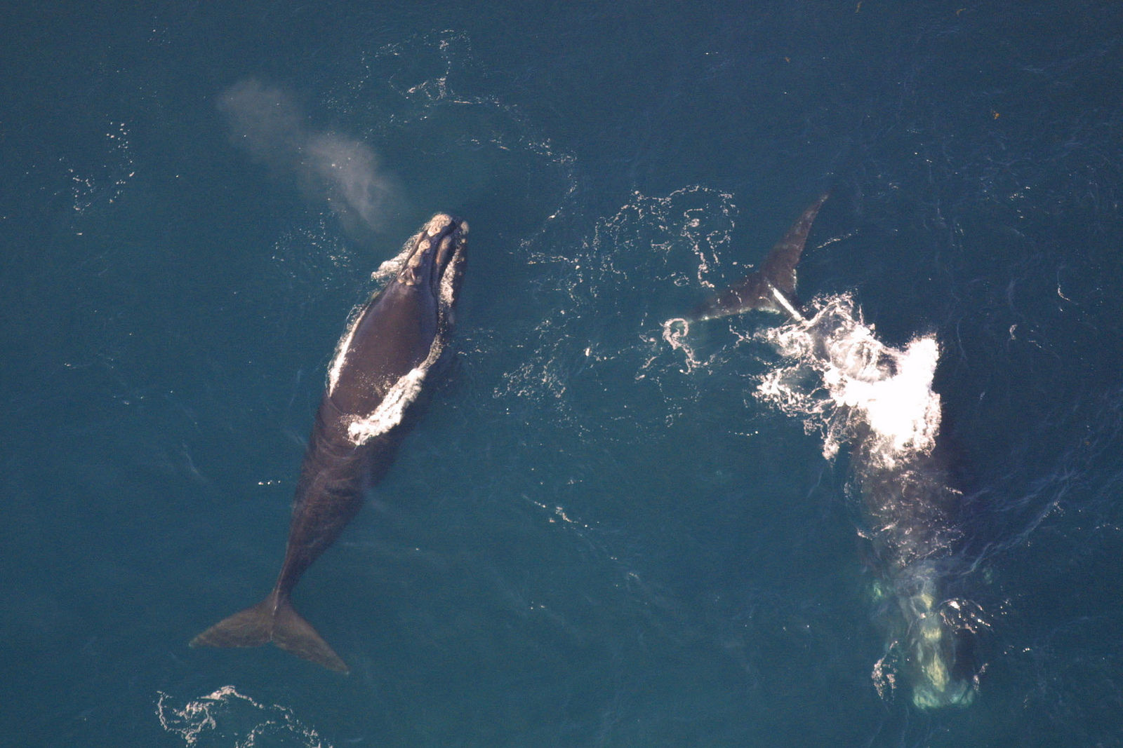 What on Earth Are We Doing to North Atlantic Right Whales?