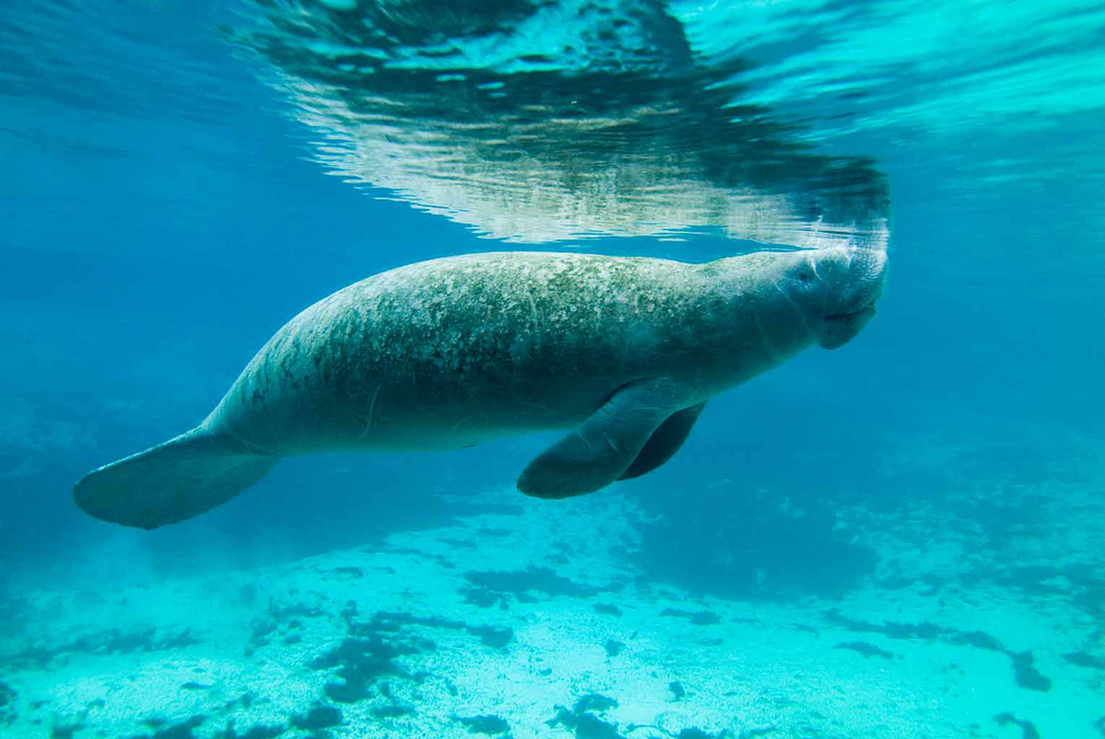 20 Interesting Facts about Manatees