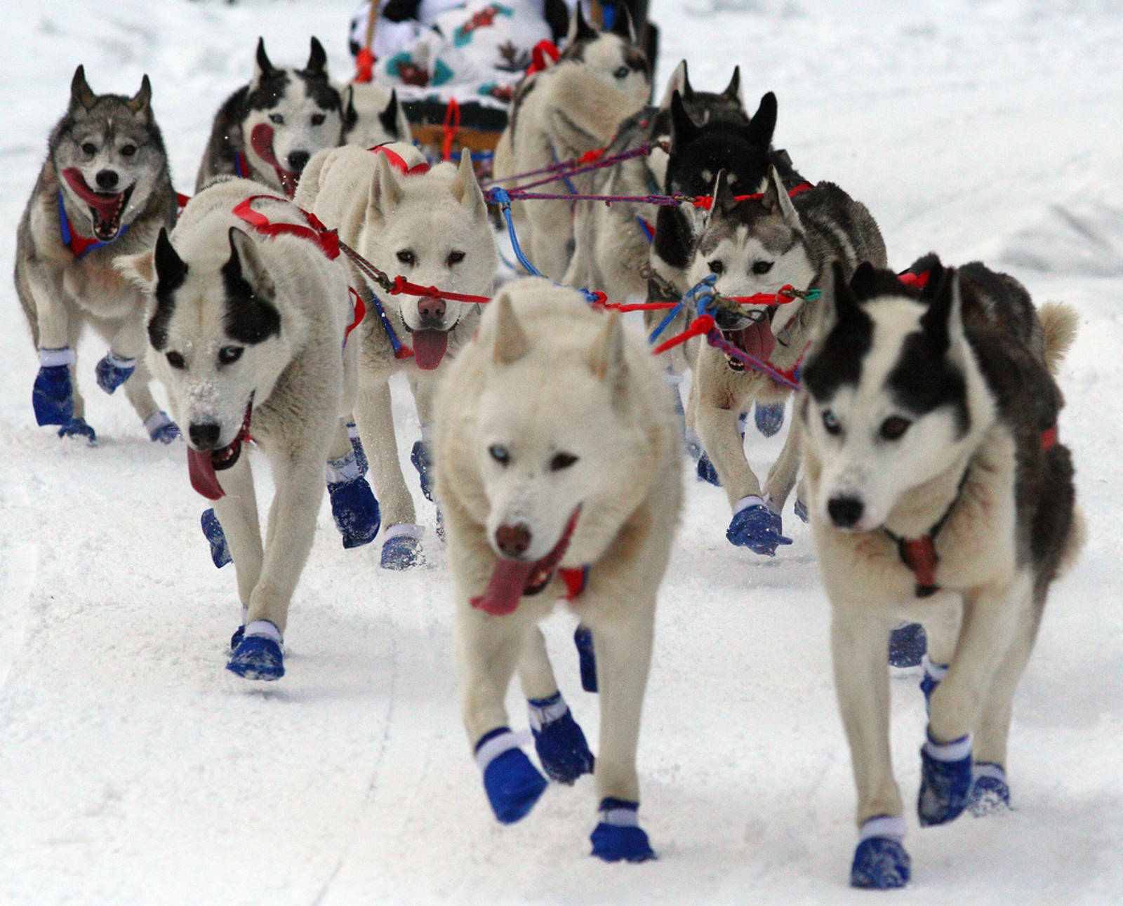 The Cruelty Behind Sled Dog Races