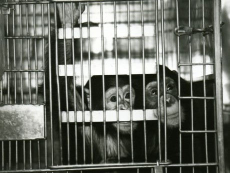 U.S. Lab Chimps: The Sad Journey They've Endured and Still Face