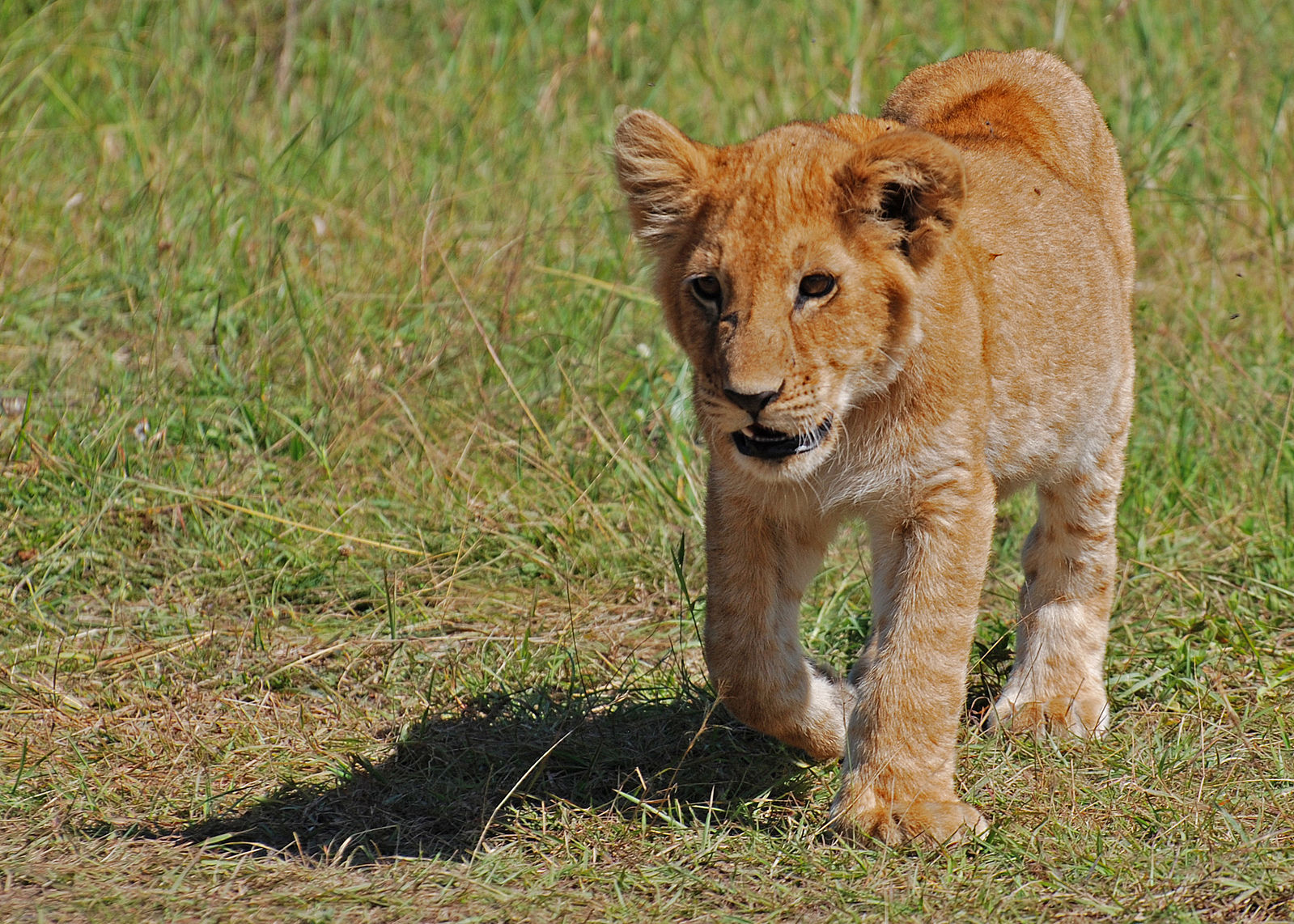 So Cute! Lion Cubs Try to Roar Just Like Their Dad (VIDEO)