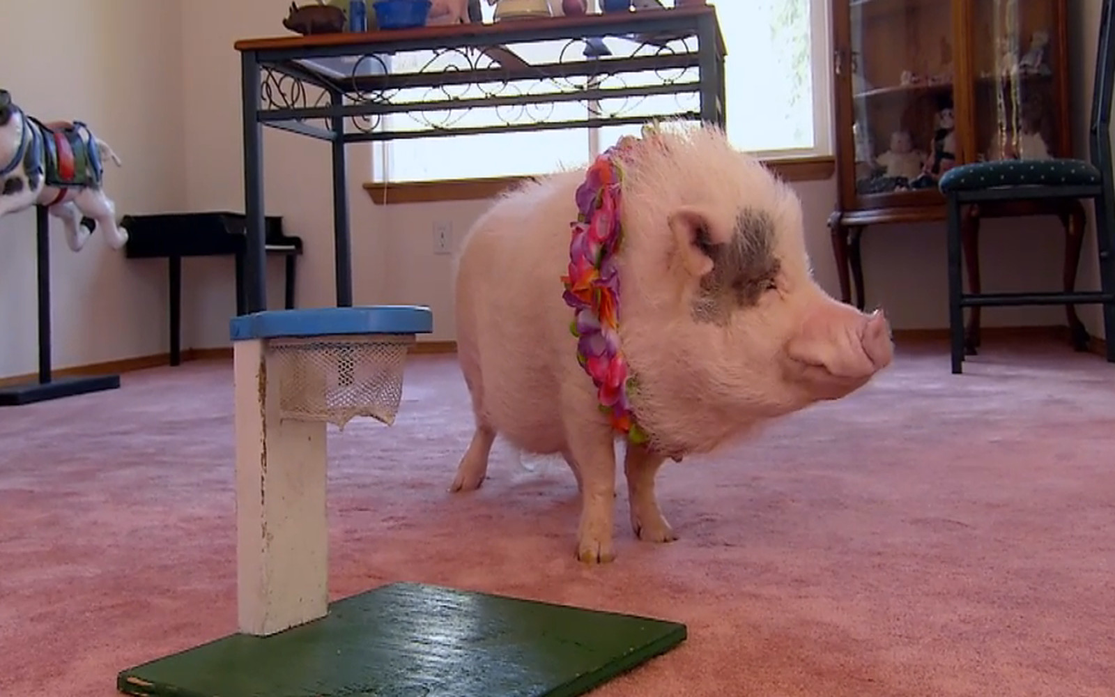 Nelly The Show Pig - The Intelligence Behind The Tricks (Video)