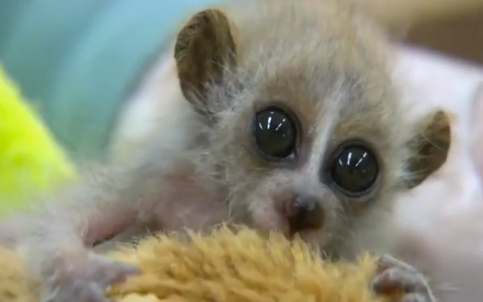 Slow Loris & Sloths Are Just as Cute as Cats on the Internet! (Video)