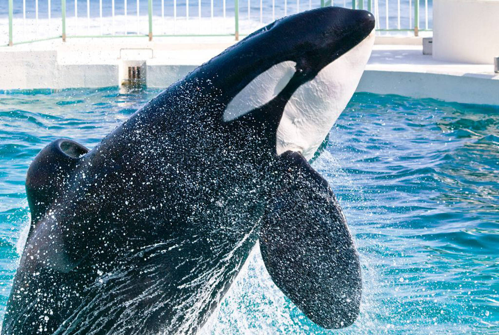 What Would Captive Orcas Tell Us If They Could Talk?