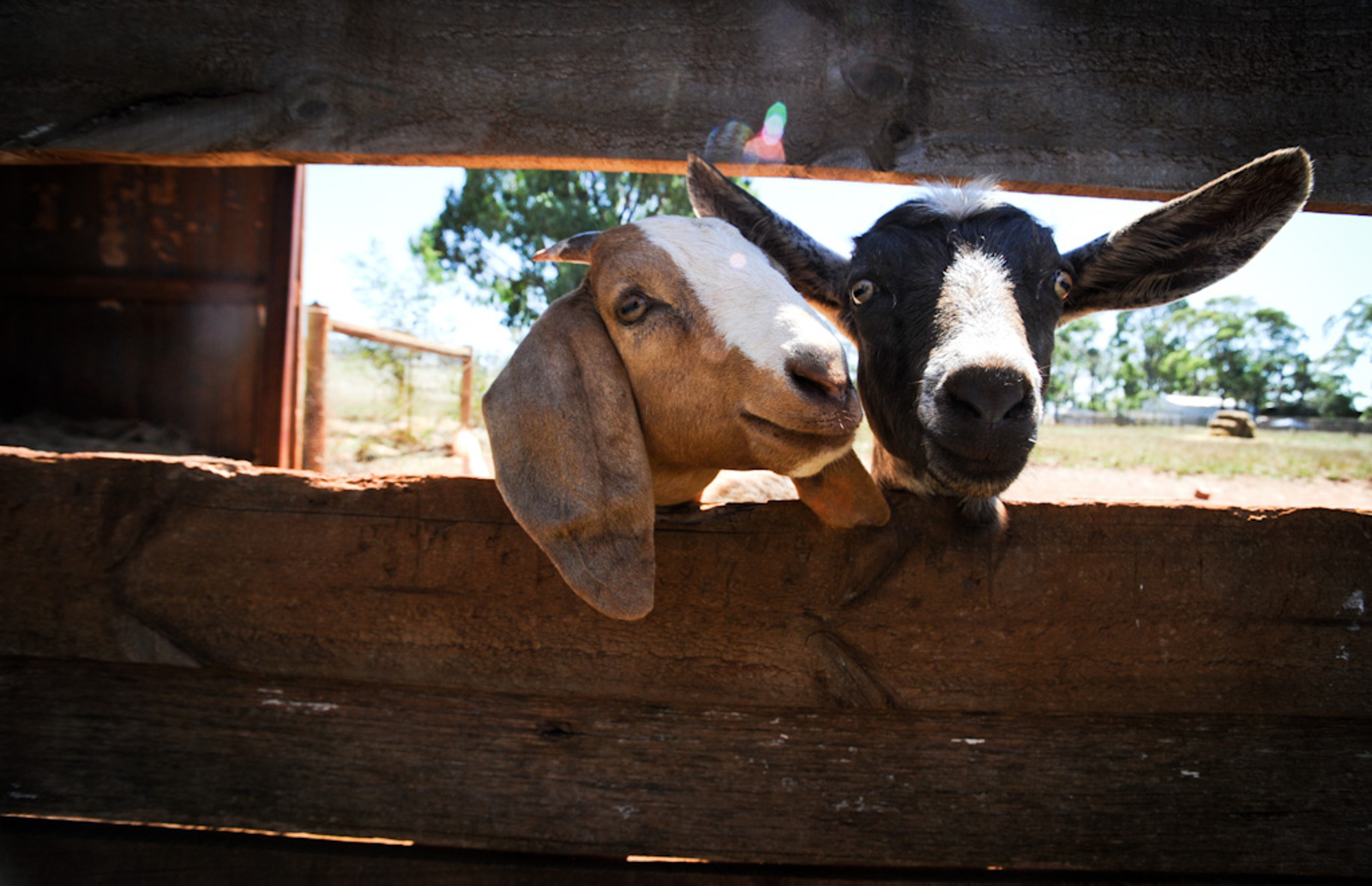 7 Wonderful Ways You Can Help Farm Animals On National Farm Animal Day And Always One Green Planet