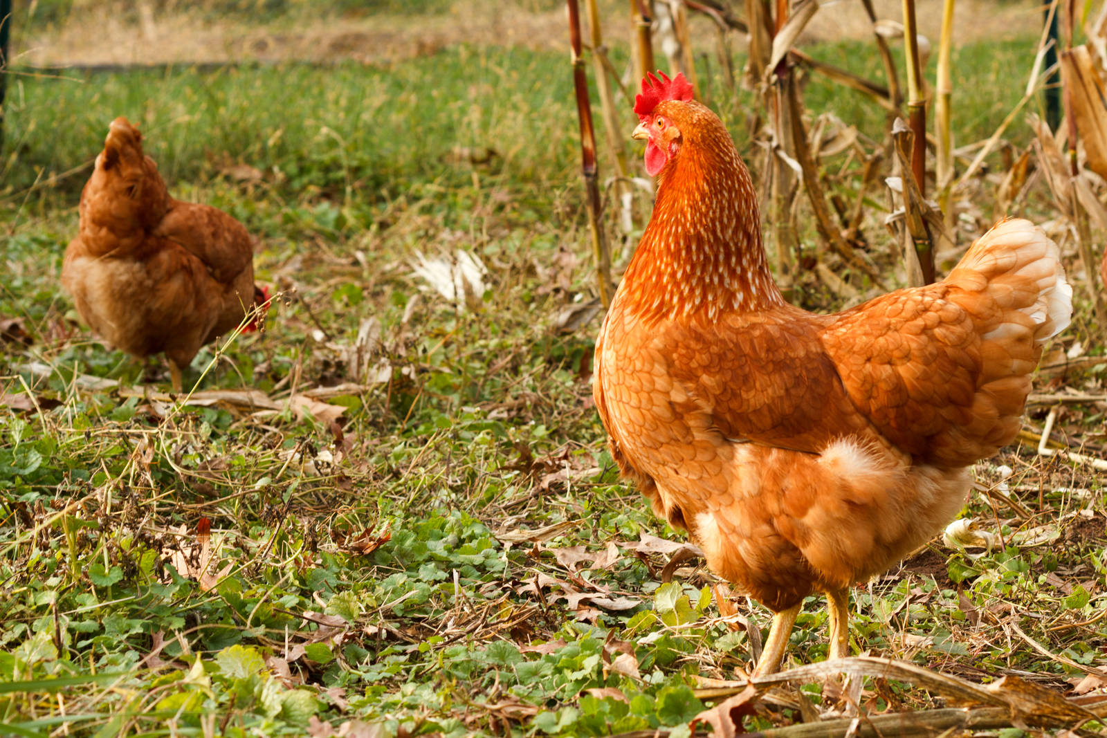 10 Lessons I've Learned While Fighting for the Freedom of Farmed Chickens