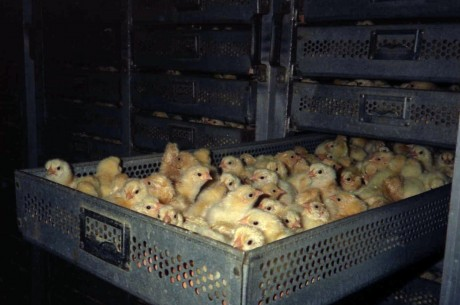 10 Cruel Things Done to Farm Animals That No Sane Person Would Do to a Cat or Dog