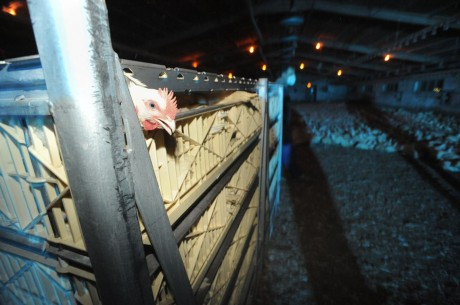 Why Don't Factory Farms Have Web Cams?