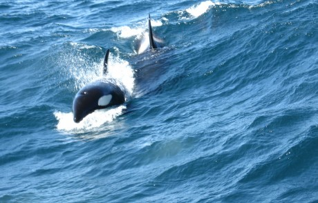 5 Ways Orcas Are Threatened in the Wild