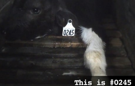 This is Simon and He Was Raised as a Veal Calf (VIDEO)