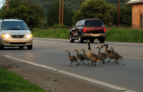 Police Escort Goose Family Off the Interstate (VIDEO)