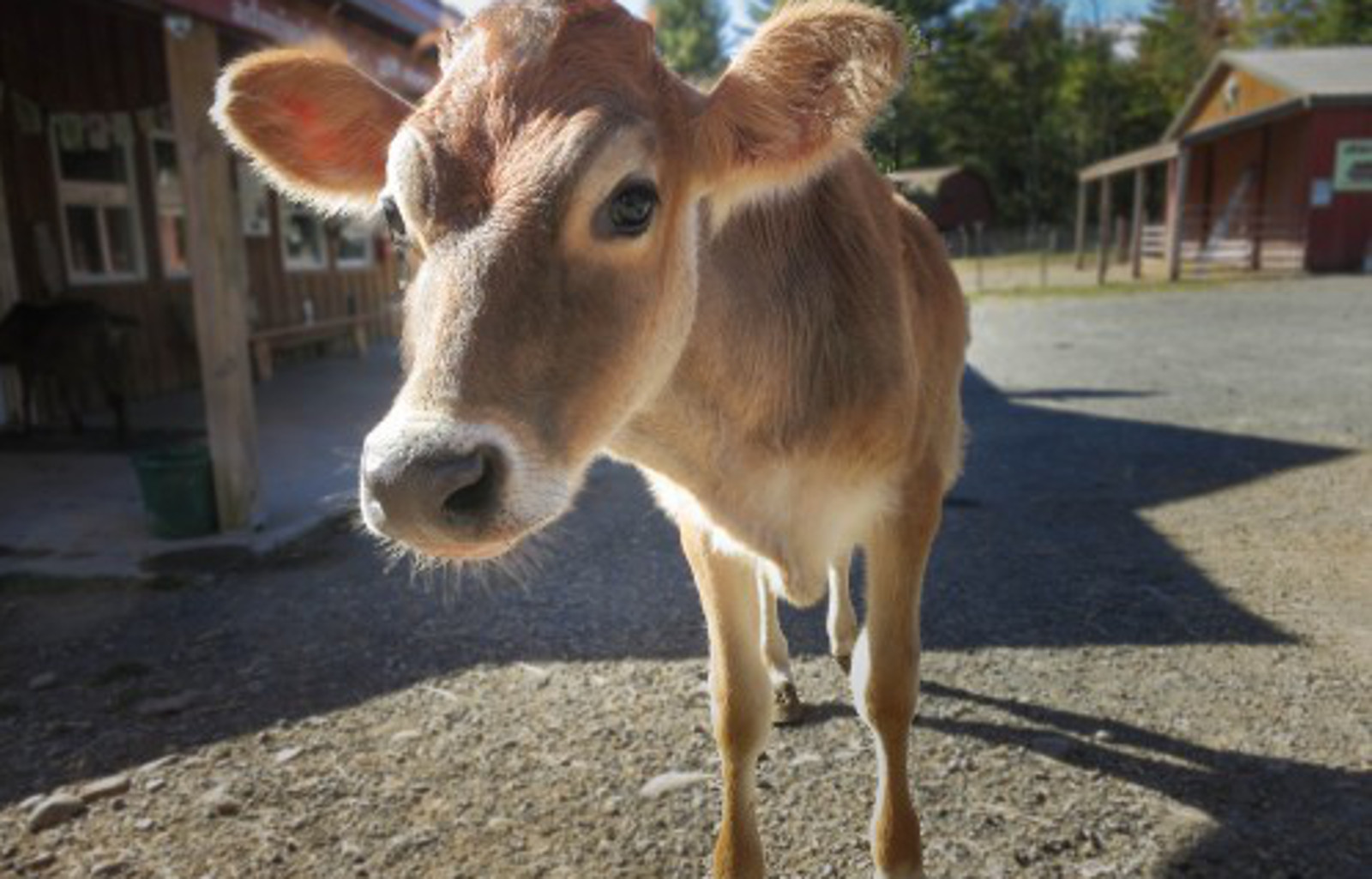 From Veal Crate to Heel Kicks: Maribeth's Second Chance at Woodstock Farm Sanctuary