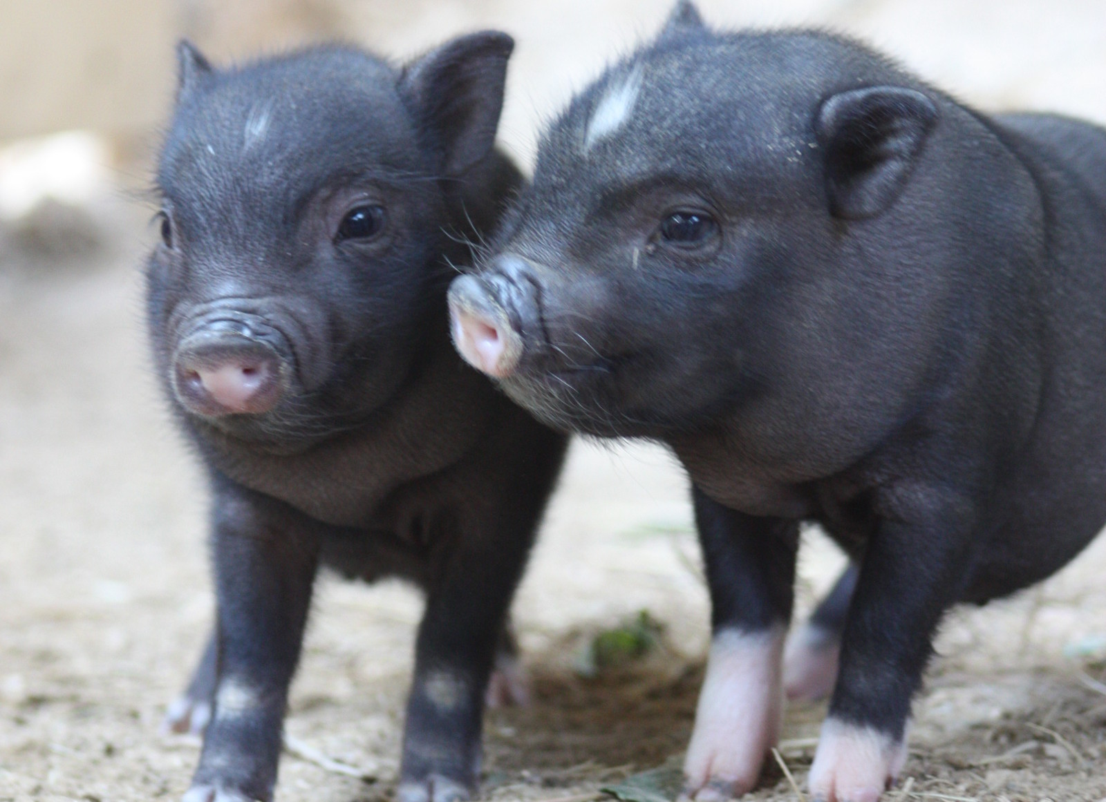 Why You Should Think Twice Before Buying a Teacup Pig