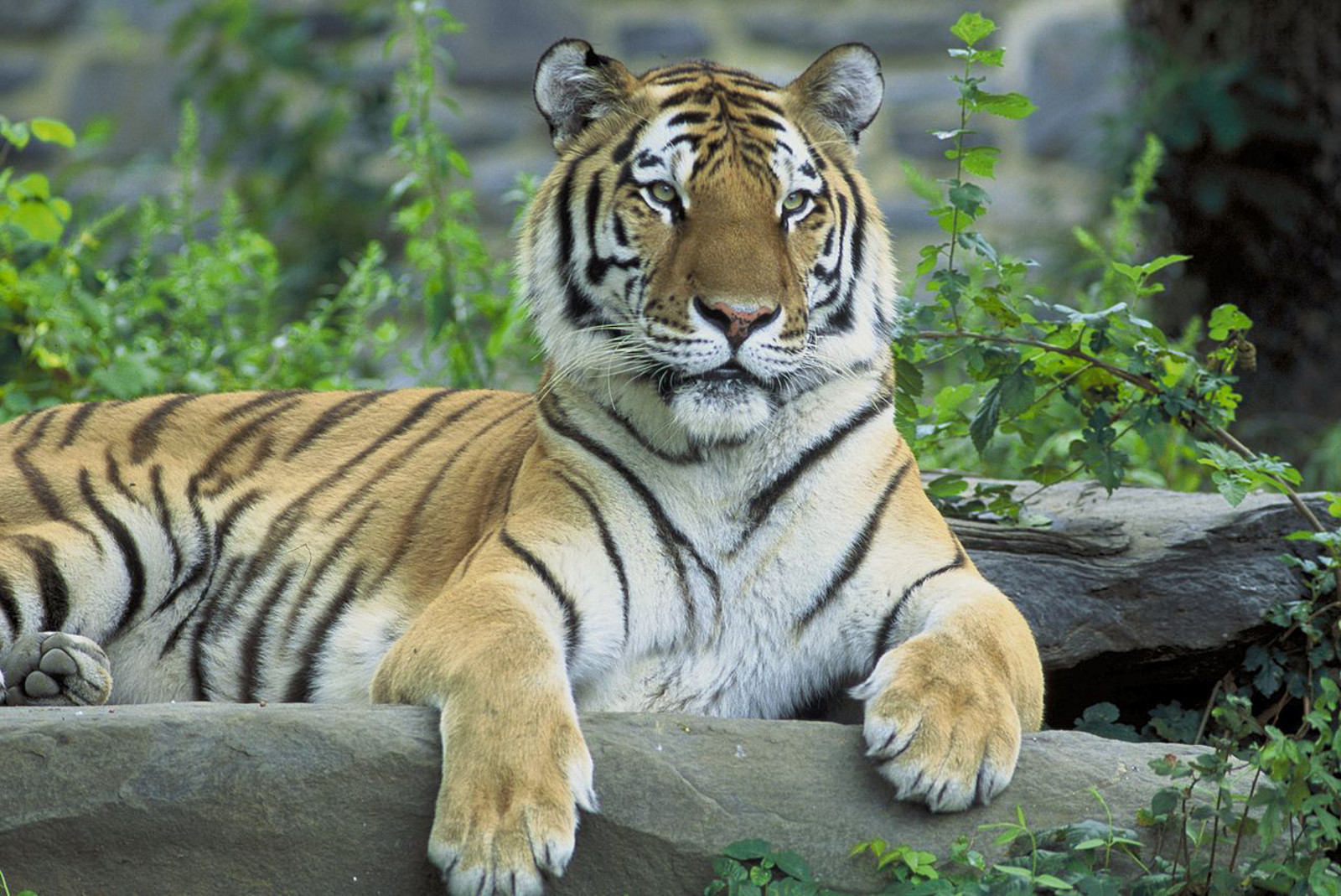 Where Are the World's Tigers?