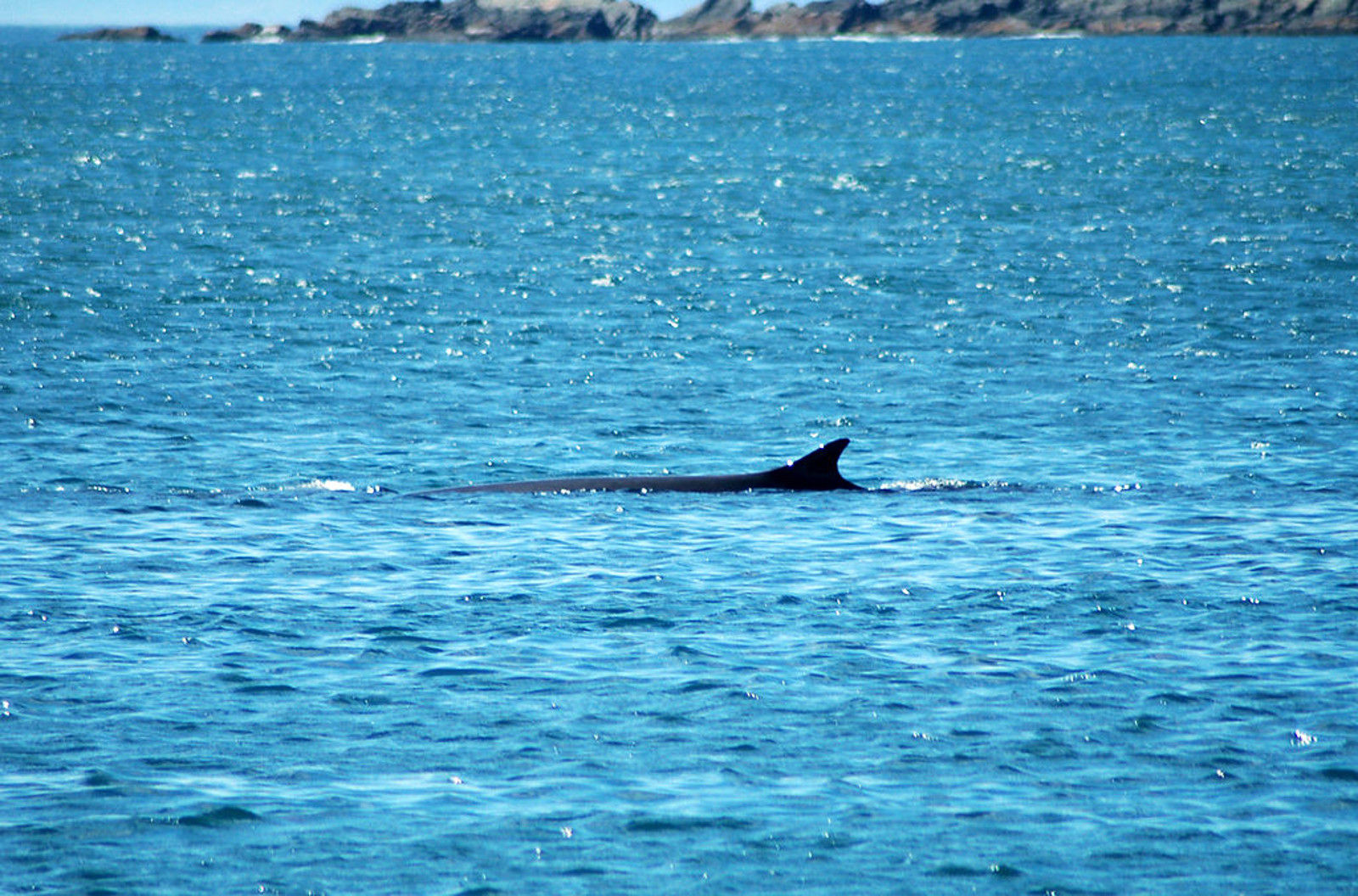 Fin Whales and Commercial Whaling