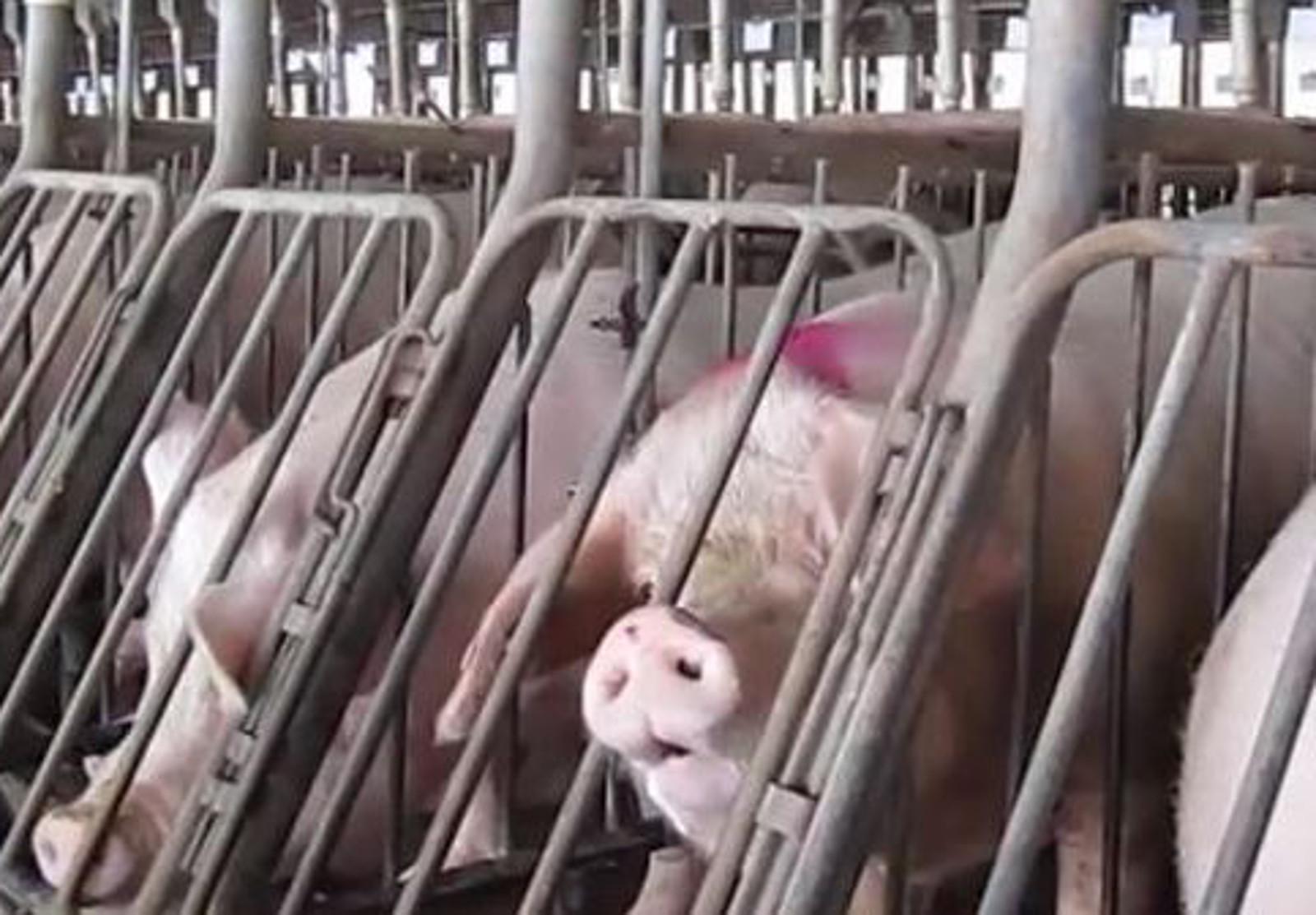 Cargill Moves to End Use of Gestation Crates!
