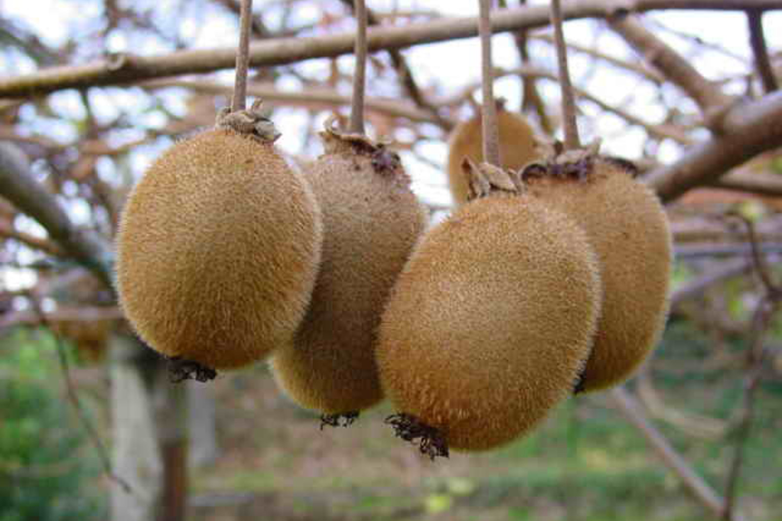 Why You Should Eat Two Kiwifruit an Hour Before Bedtime If You Can't Sleep