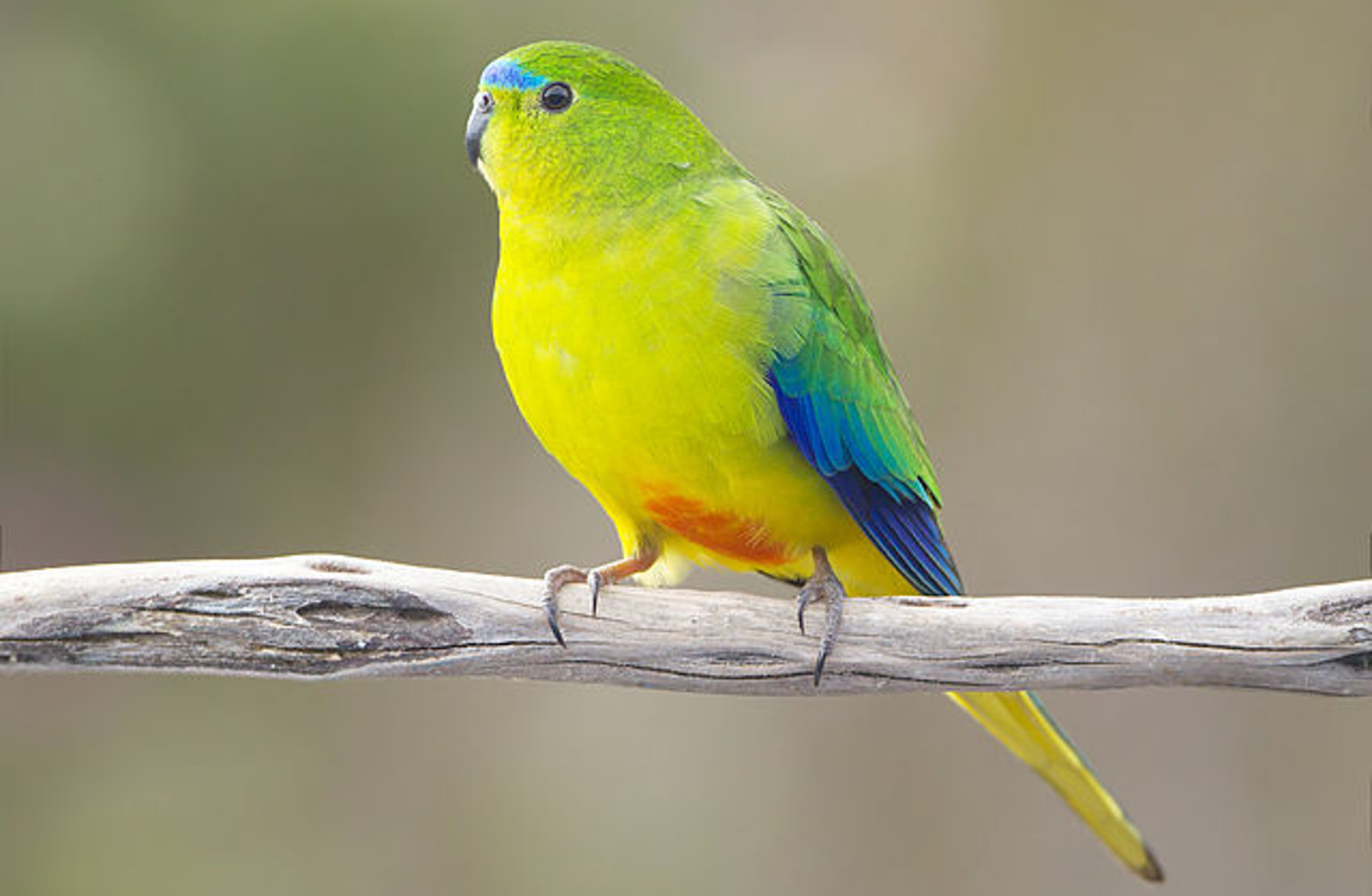 What in the World is Happening to Orange-bellied Parrots–and What You can do to Help!