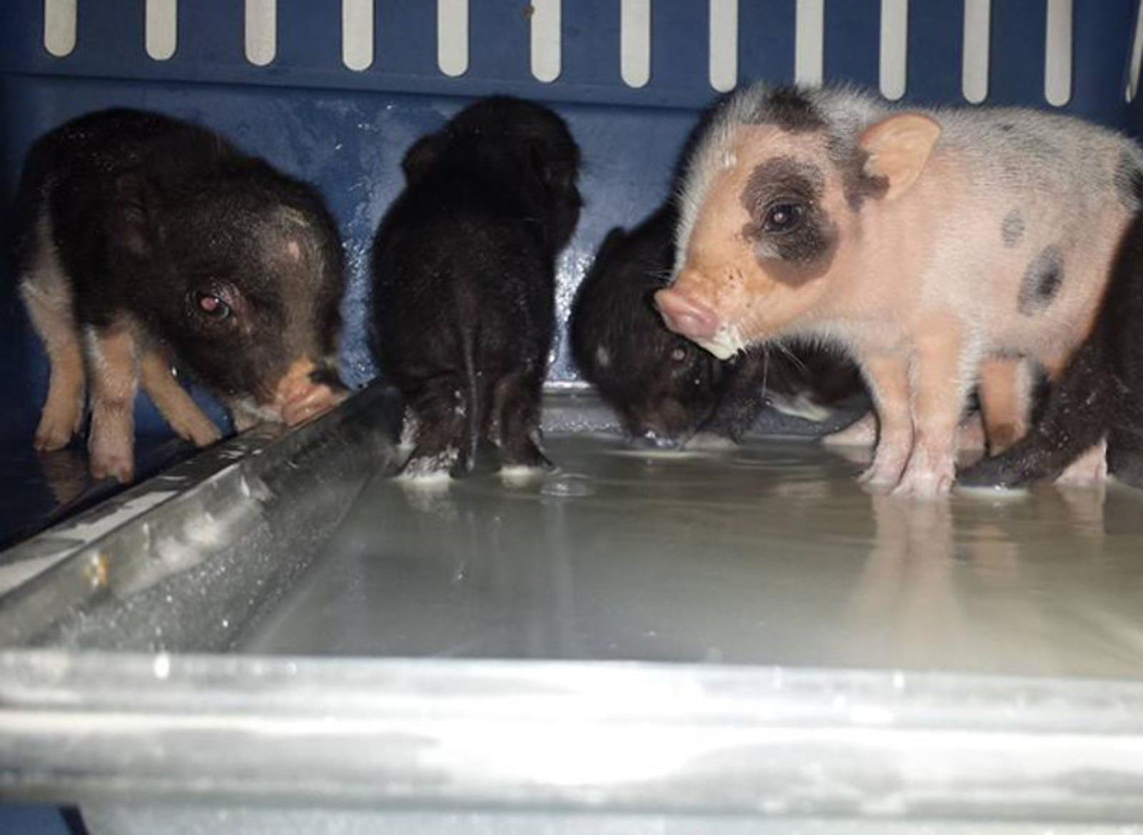 OMG Piglets! Orphan Oinkers Find New Home at PIGS Animal Sanctuary