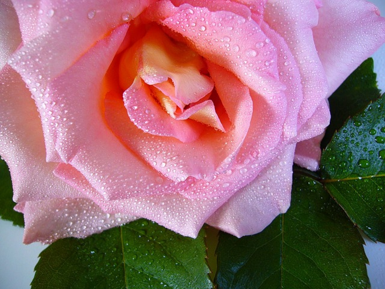 DIY Rose Water and Vegetable Glycerine Toner