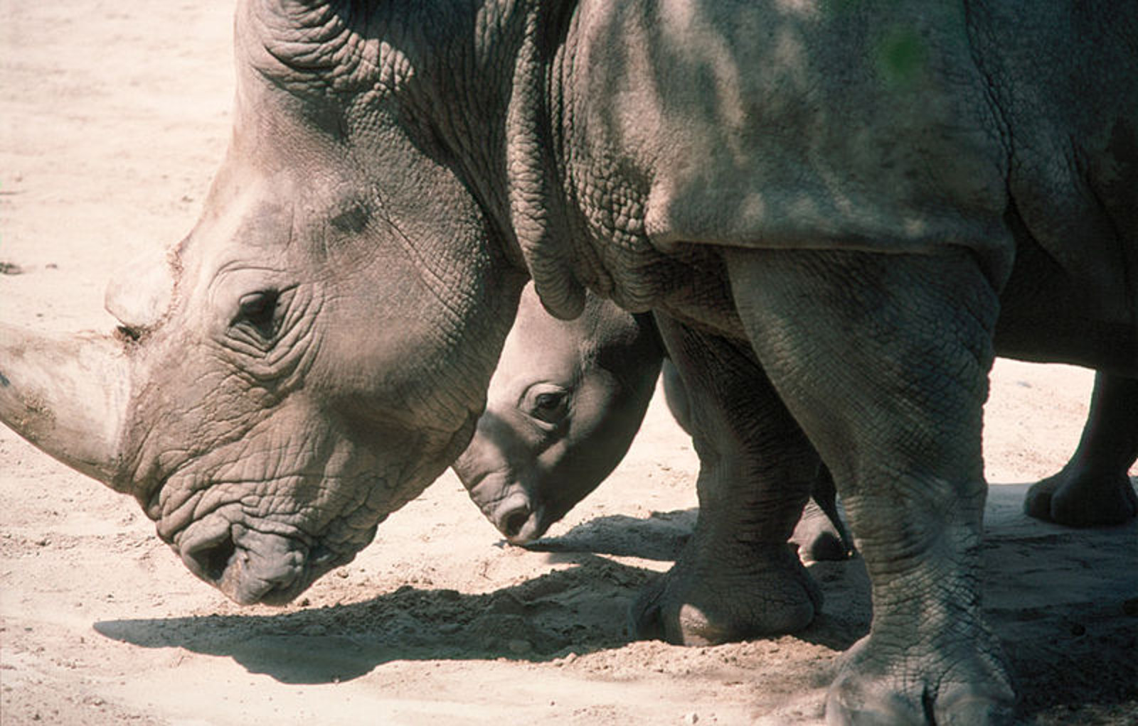 Victory! Rhino Poacher Sentenced to 77 Years in Prison in South Africa!