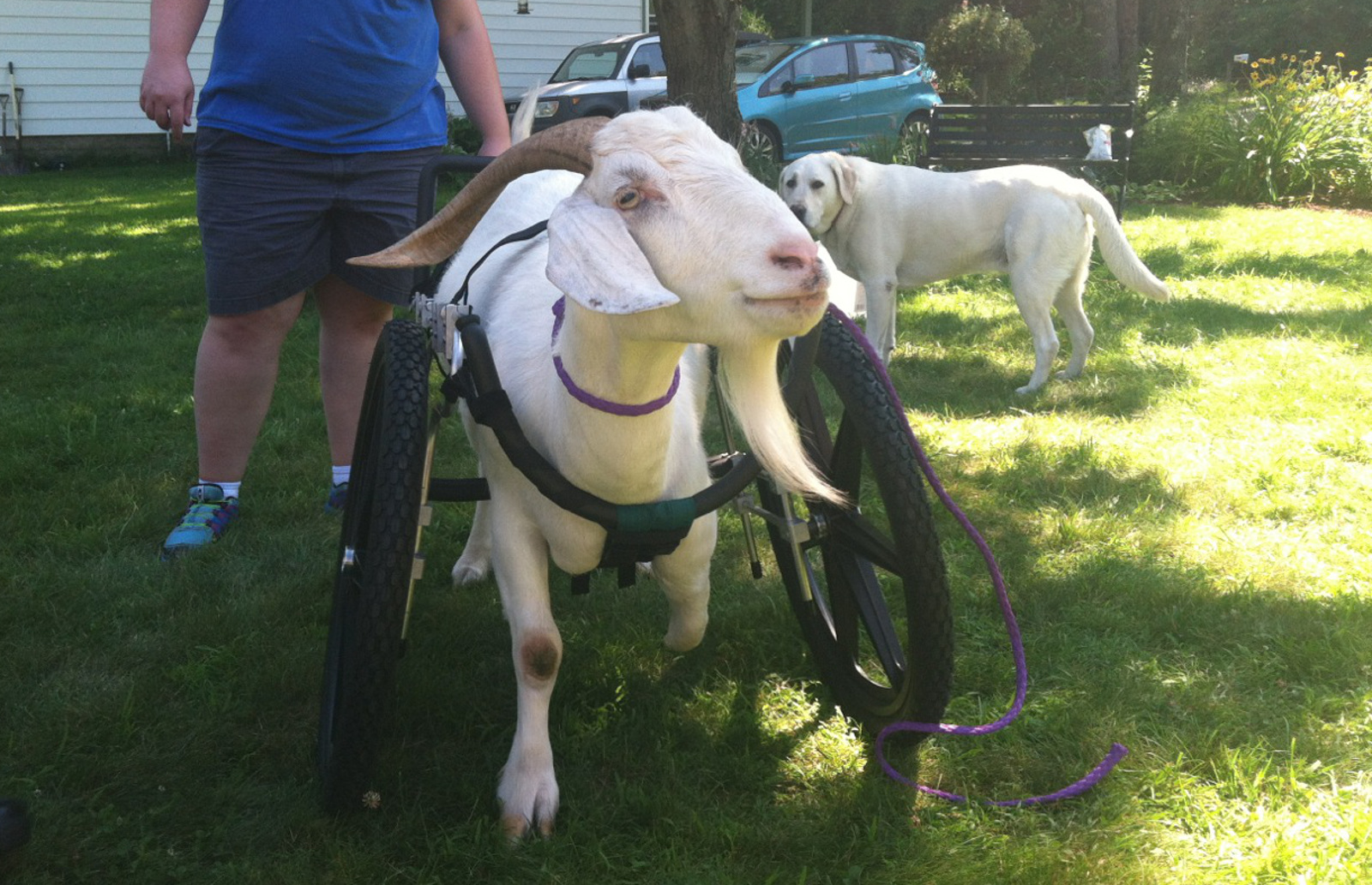 Rescued and Rehabilitated, Albie the Goat Gets a new set of Wheels! (Photos & Video)