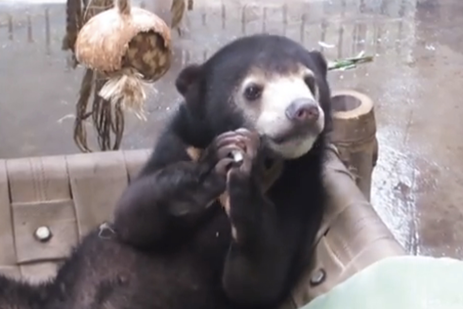 Saved From Poachers, Layla the Sun Bear Plays in her new Home (VIDEO)