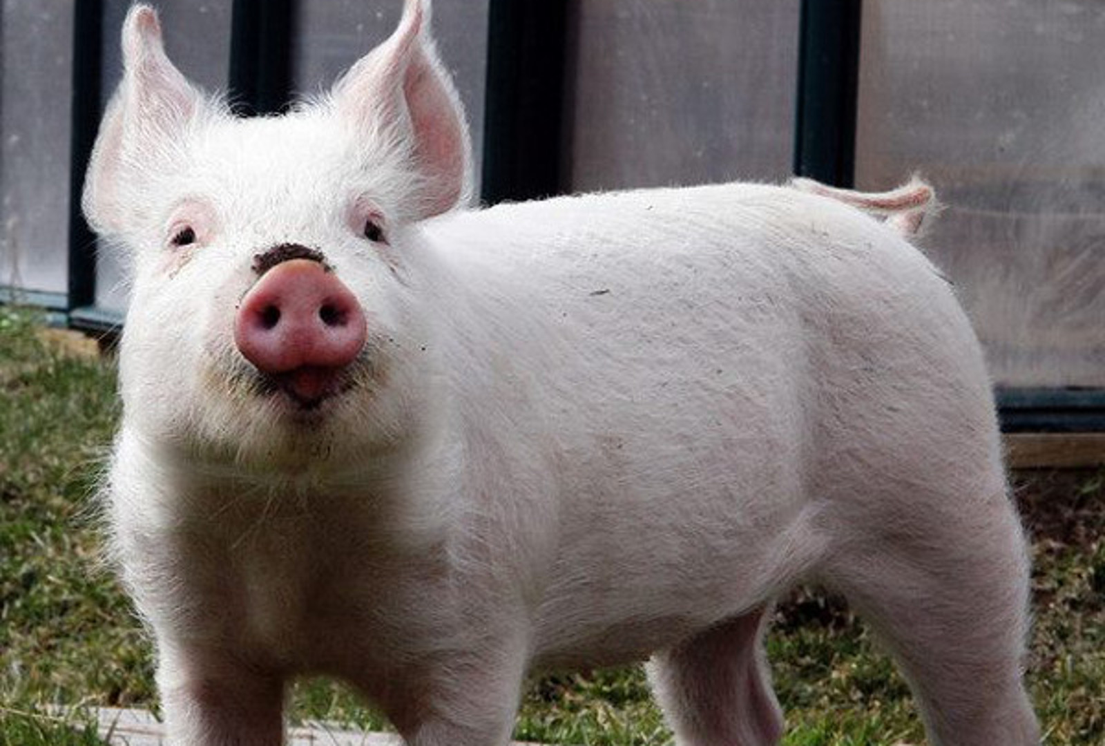 Meet Amelia, the 'Worst Pig in the World.' Rescued From an Animal Hoarder, and Now Living Free in a Sanctuary
