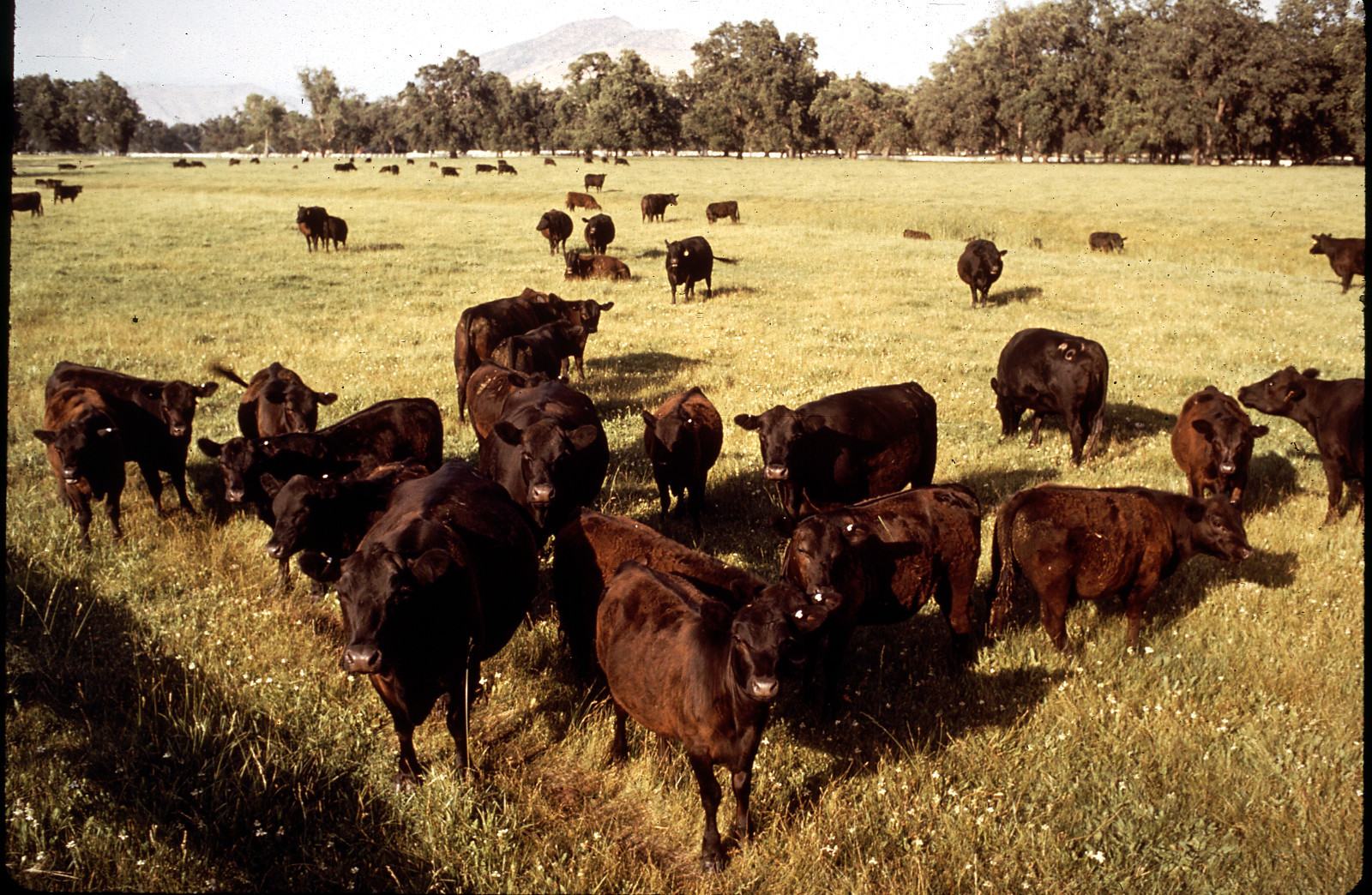 How Much of America's Land is Used for Cattle-Grazing? And Why is That Bad?