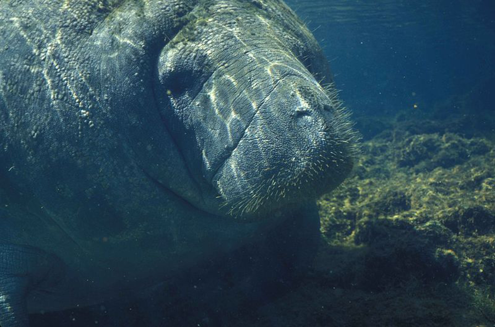 Still at Risk, Manatees in Danger of Losing Protection