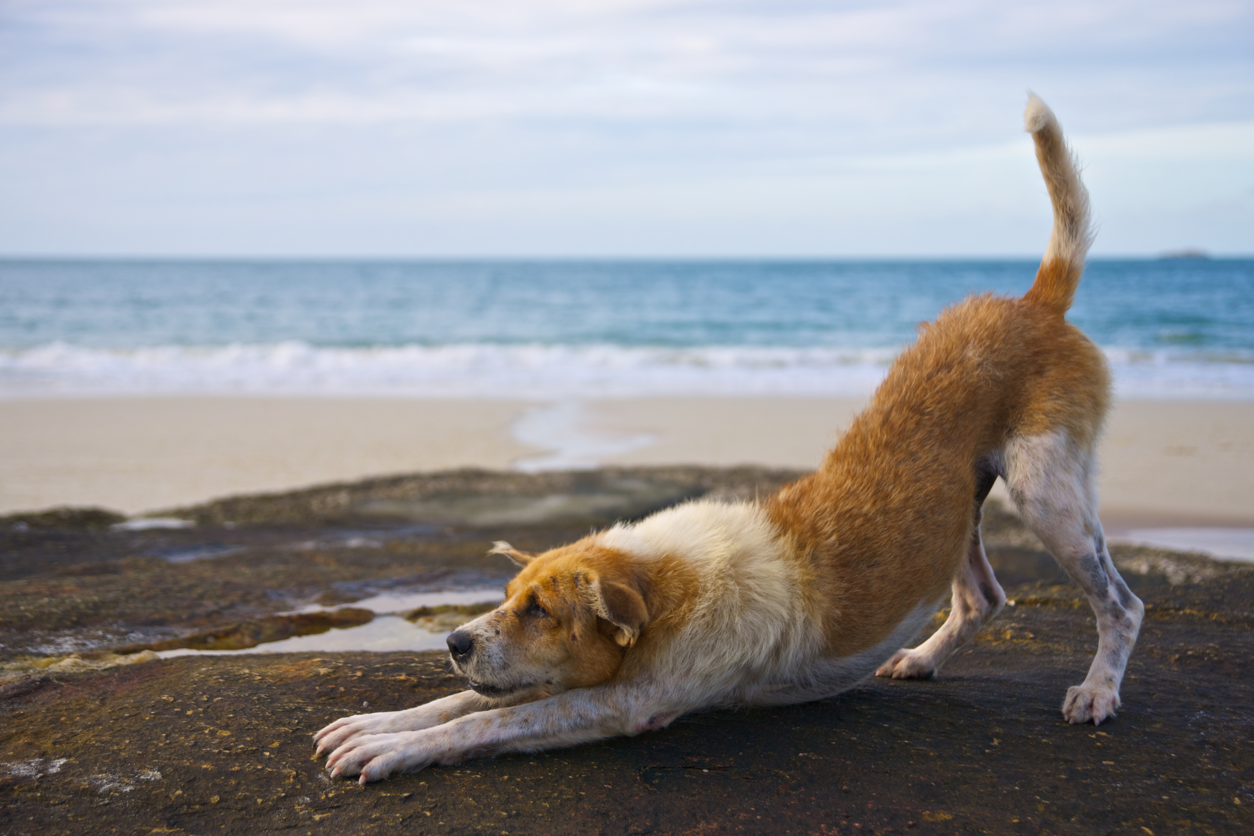 dog doing downward dog