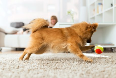 Dog playing indoors