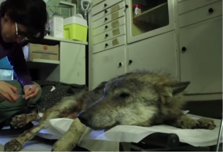 This Crew Finds a Nearly Dead, Undernourished, Paralyzed Wolf. What Happens Next Touches Our Hearts!