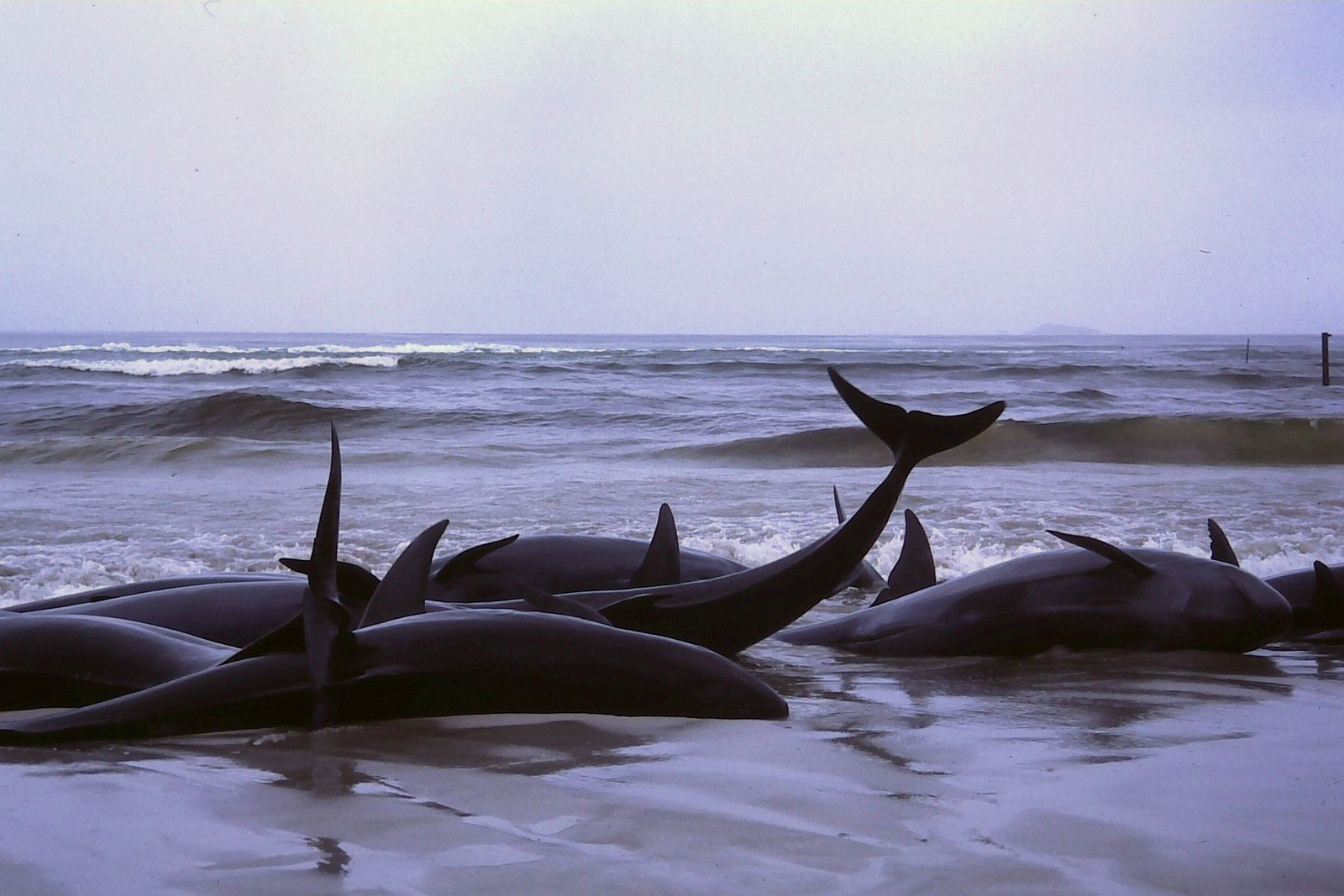 What is a Whale Stranding and Why Does it Happen?