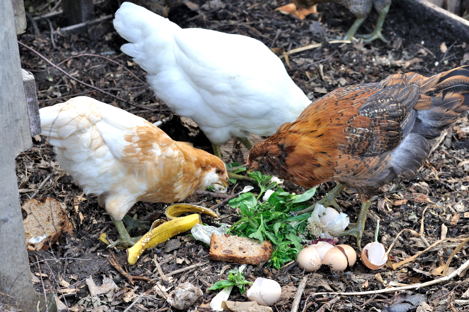 5 Major Problems With Backyard Eggs