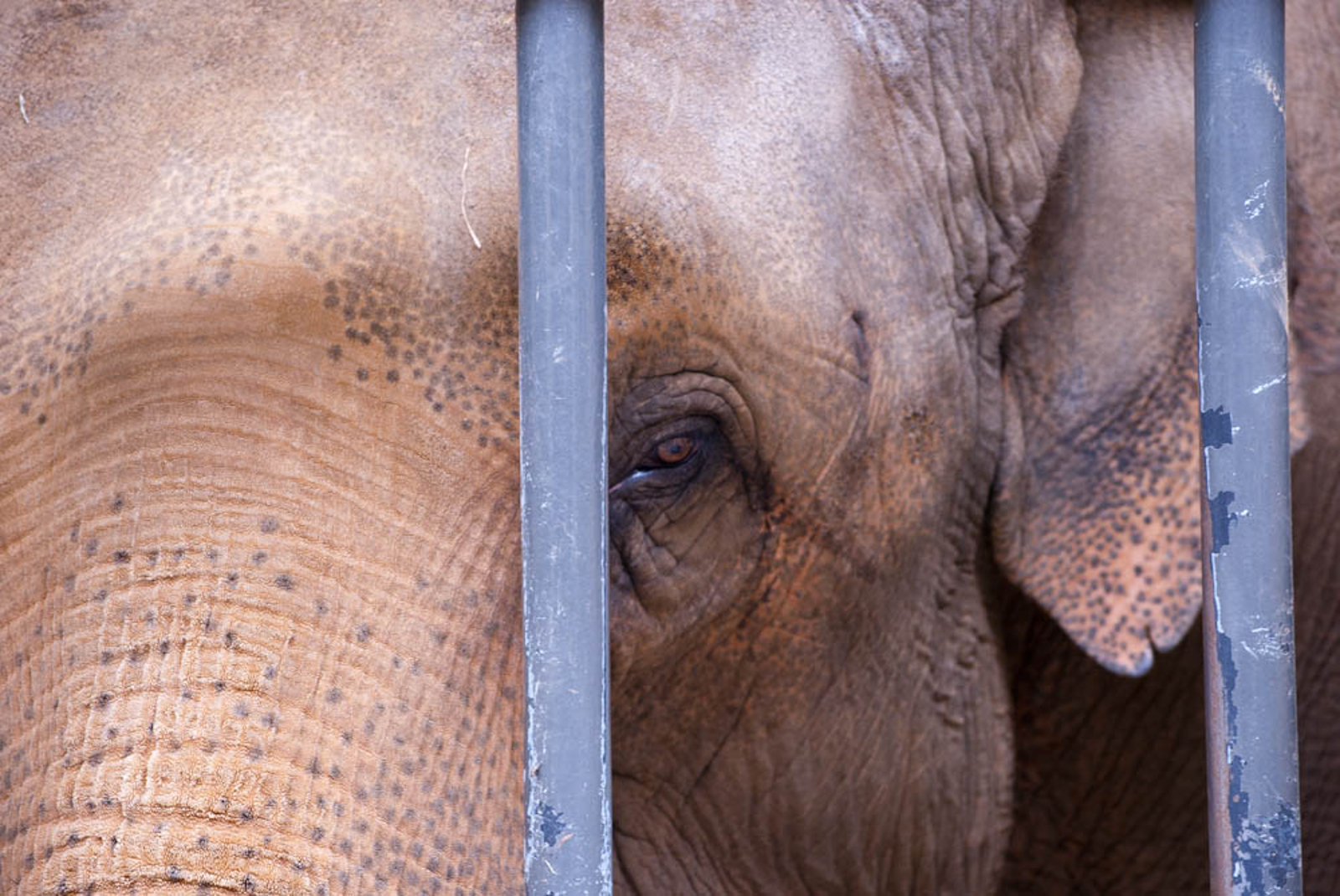Why Elephants Don't Belong in Zoos!