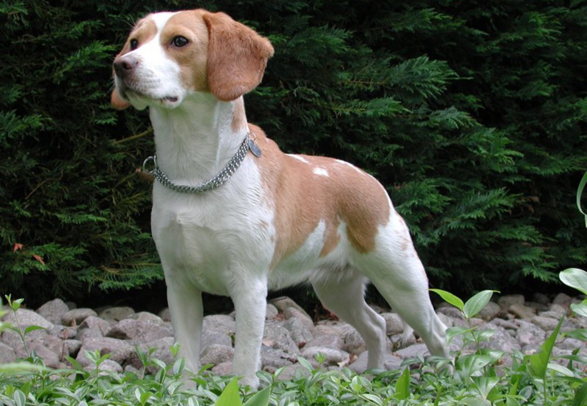 Paula Fitzsimmons: Why Beagles are Used for Pharmaceutical Testing and What You Can Do!