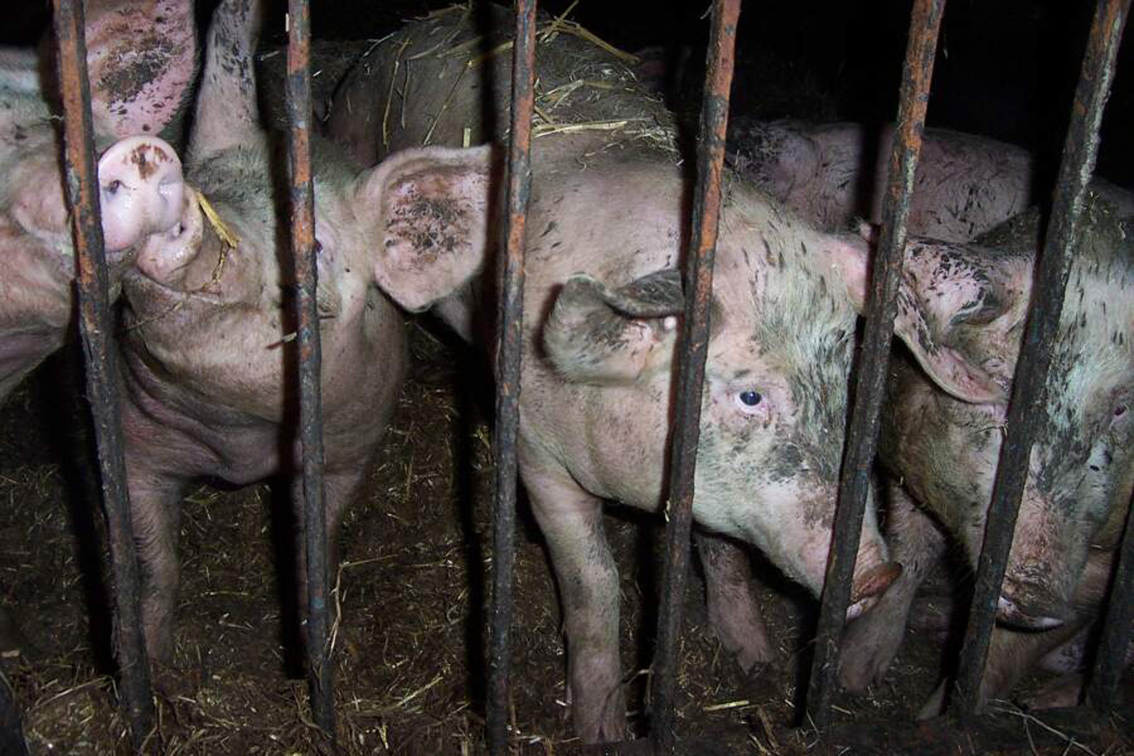 How Undercover Investigations are Changing Our Perception of the Meat Industry