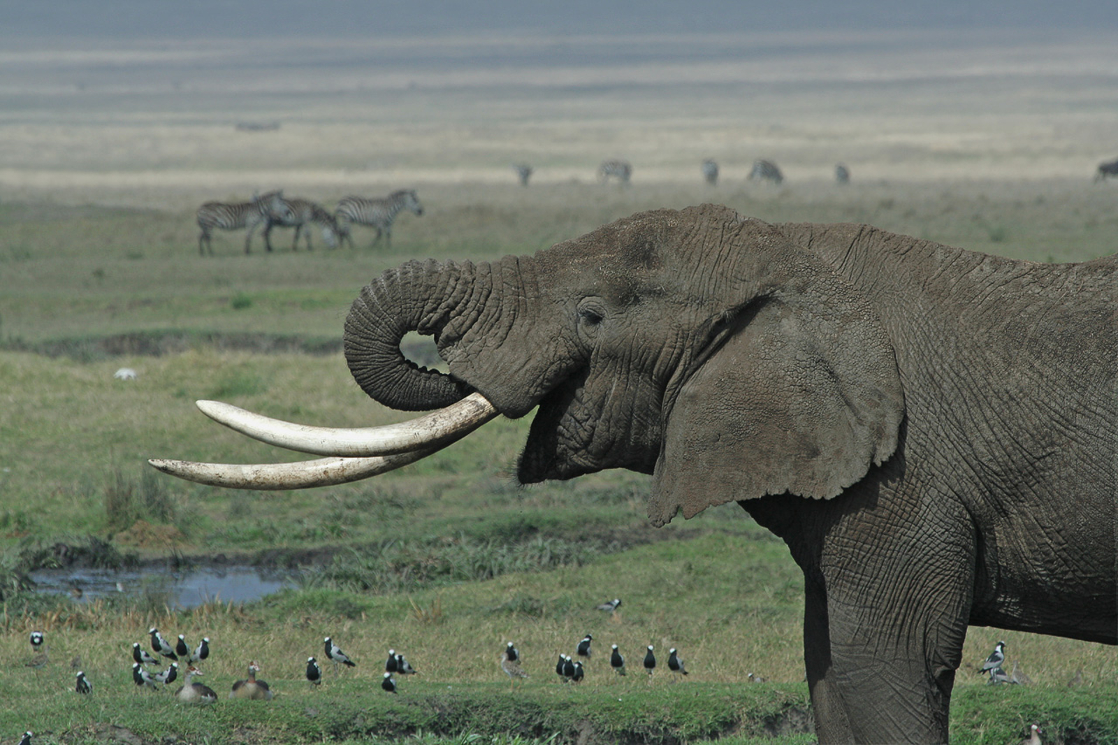 When the Elephants Go, Will We be the Next to Follow?