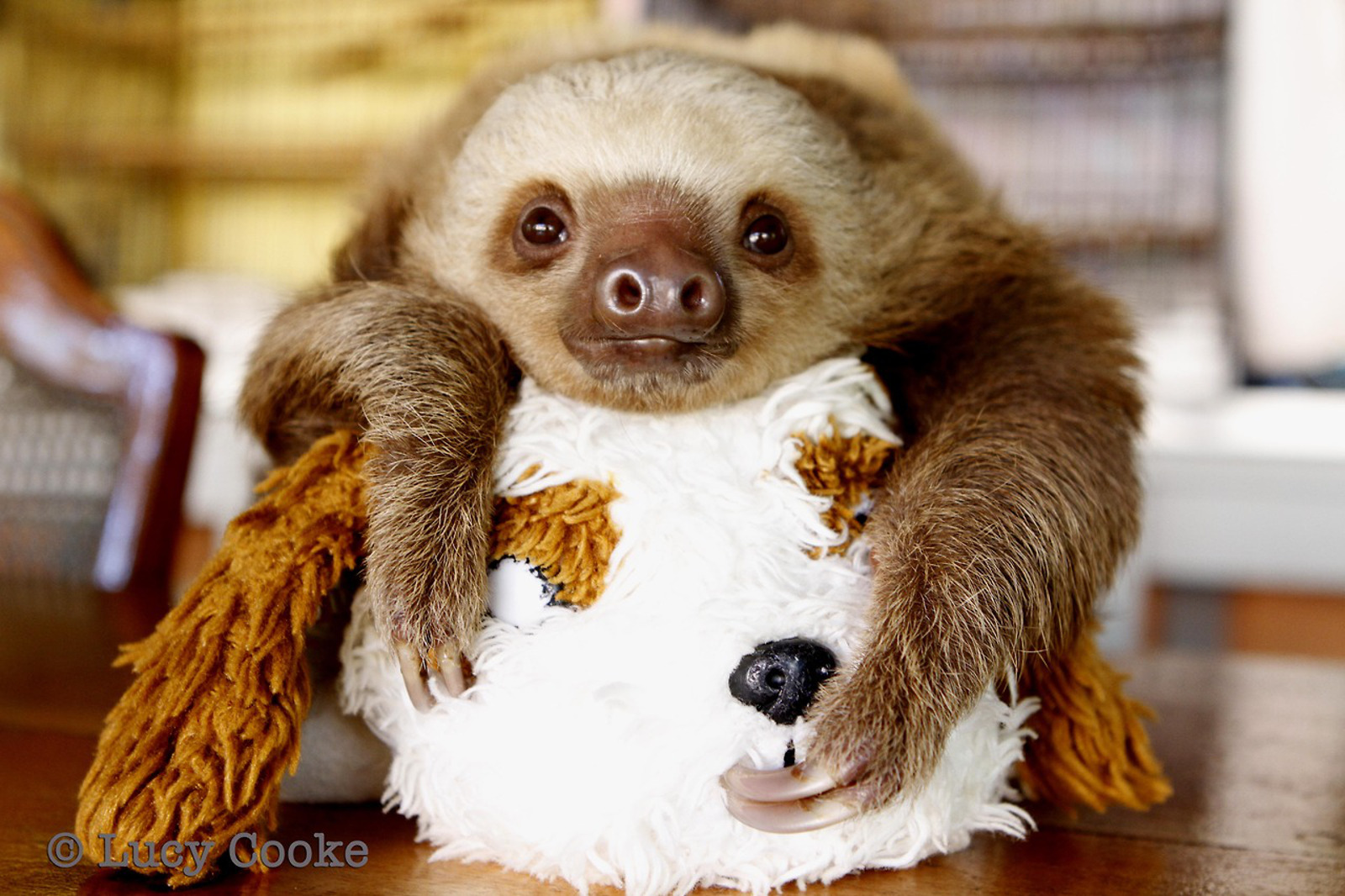 These Abandoned Baby Sloths are as Cute as They Come!