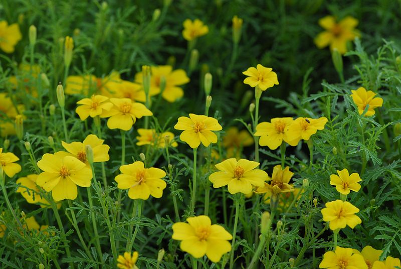 A Quick Guide to Edible Flowers