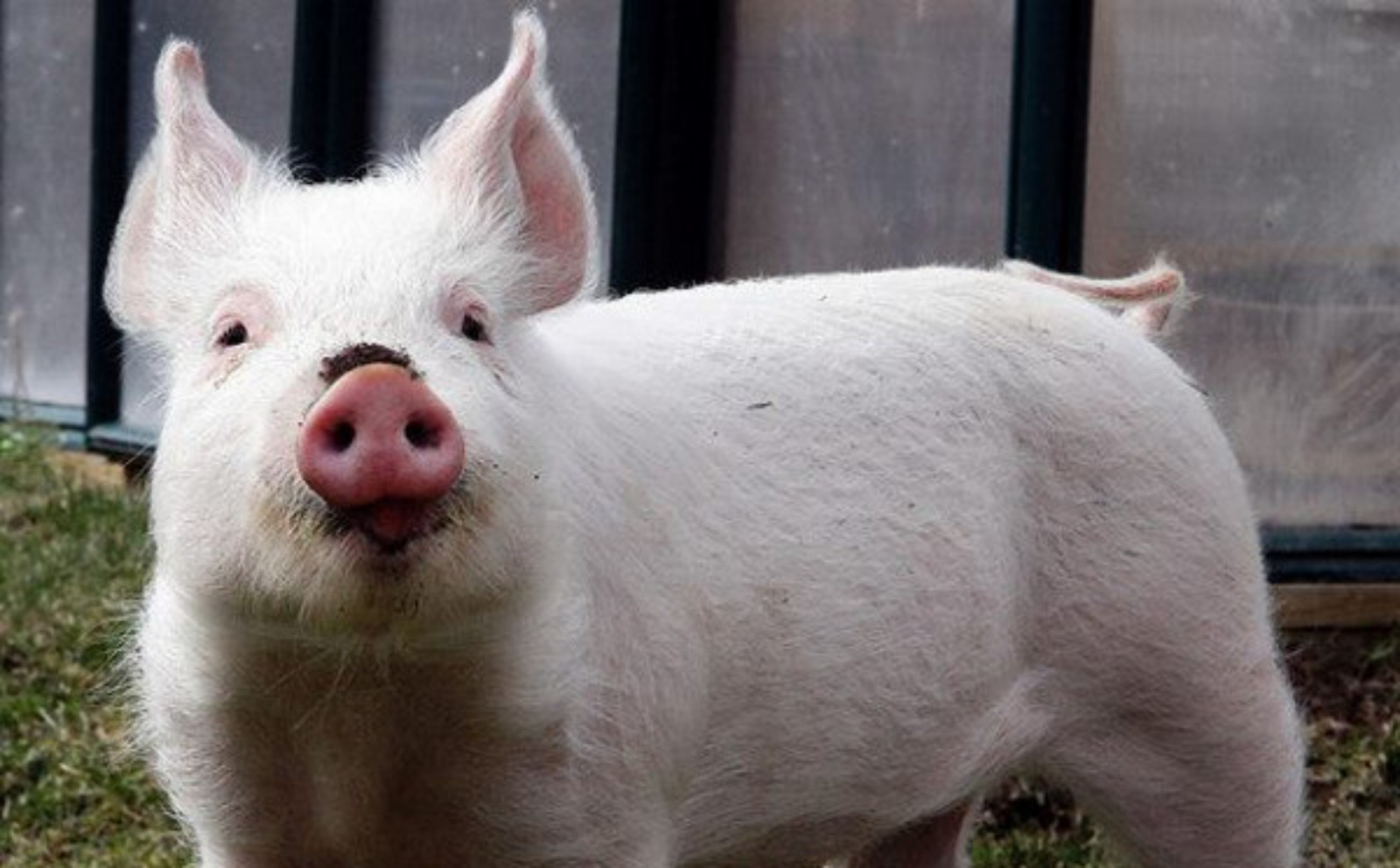 Our Top 5 All-Time Favorite Rescued Farm Animals Stories