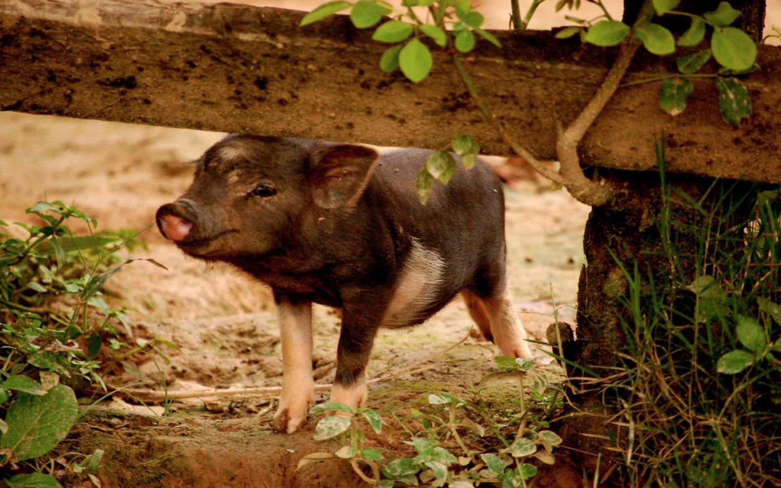 10 Phenomenal Reasons to Love Pigs