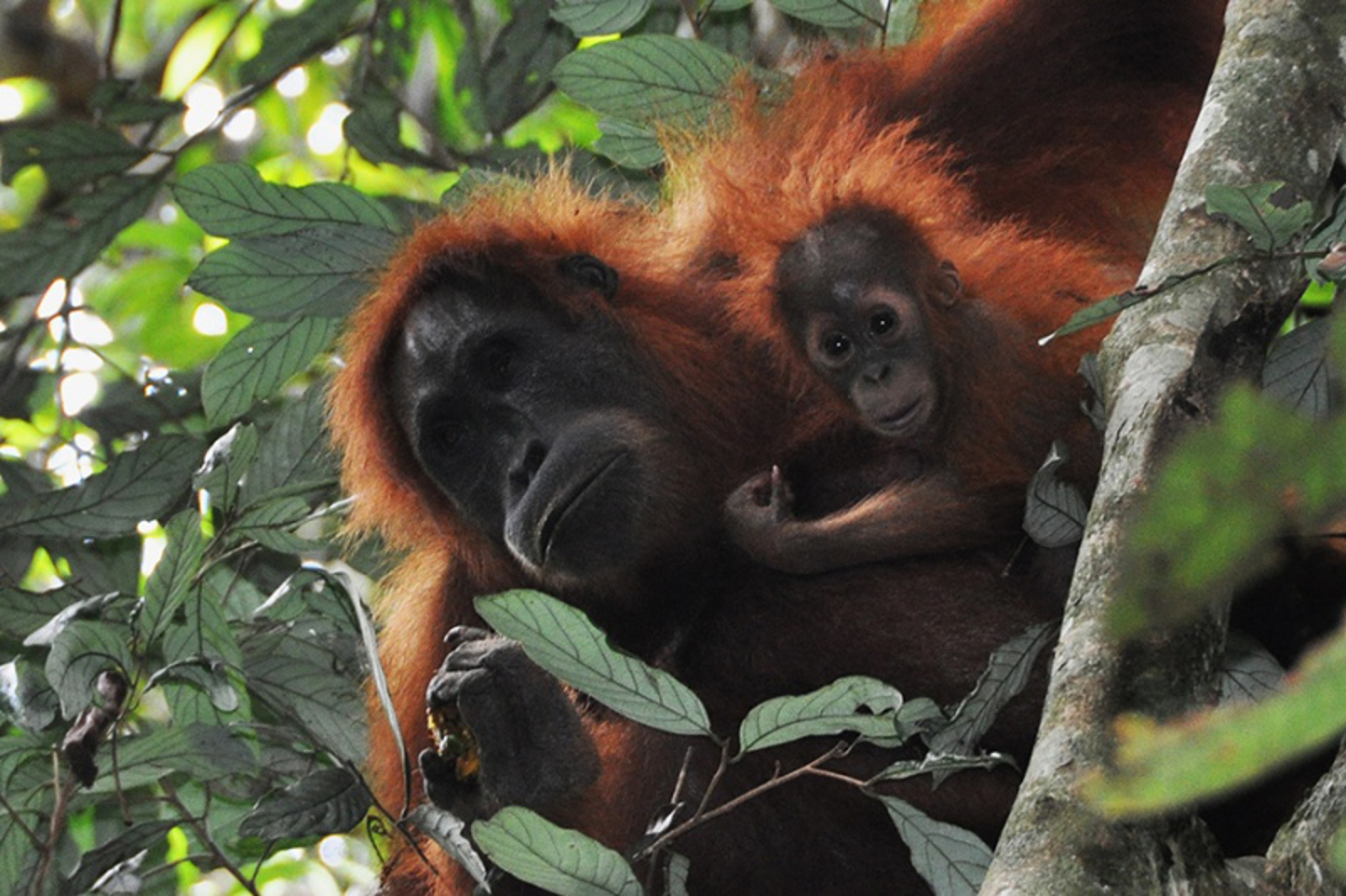 How Palm Oil Production Has Changed Life for the Orangutan
