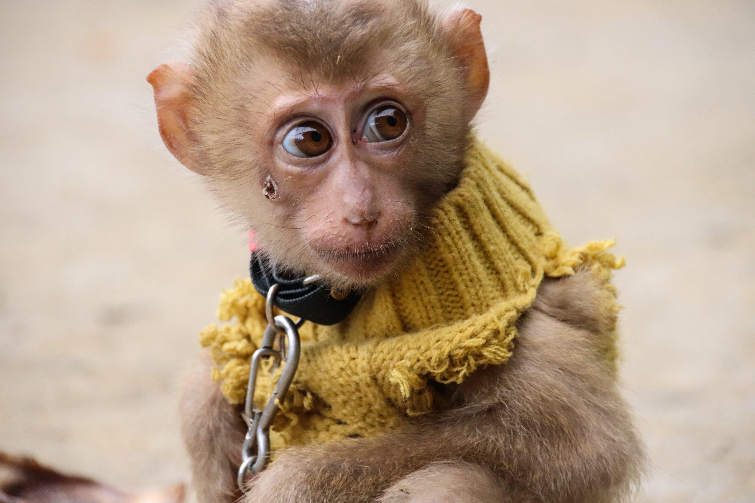 monkey on leash