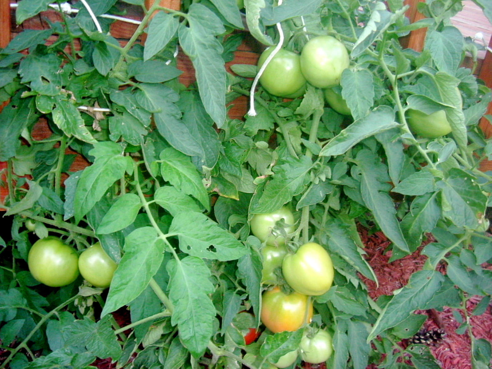 How To Rejuvenate Tomato Plants For A Late Summer Harvest One Green Planet,Best Color For Small Bedroom Walls