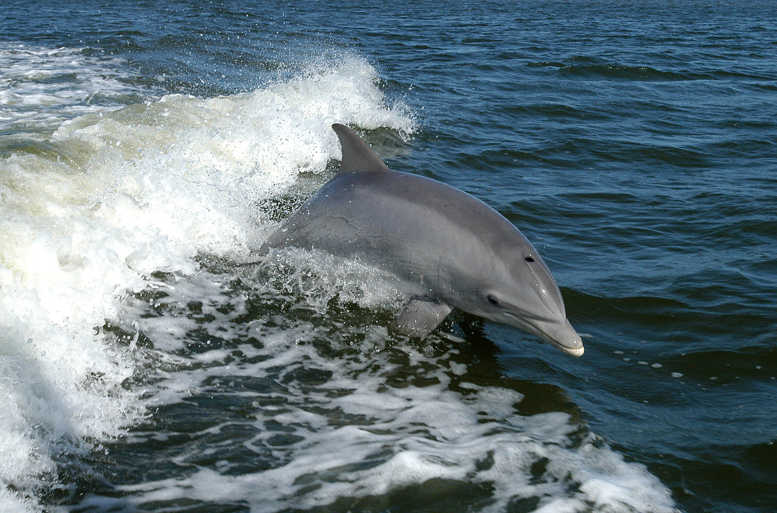 4 Reasons Dolphins deserve to swim free, not suffer in hunts or aquariums