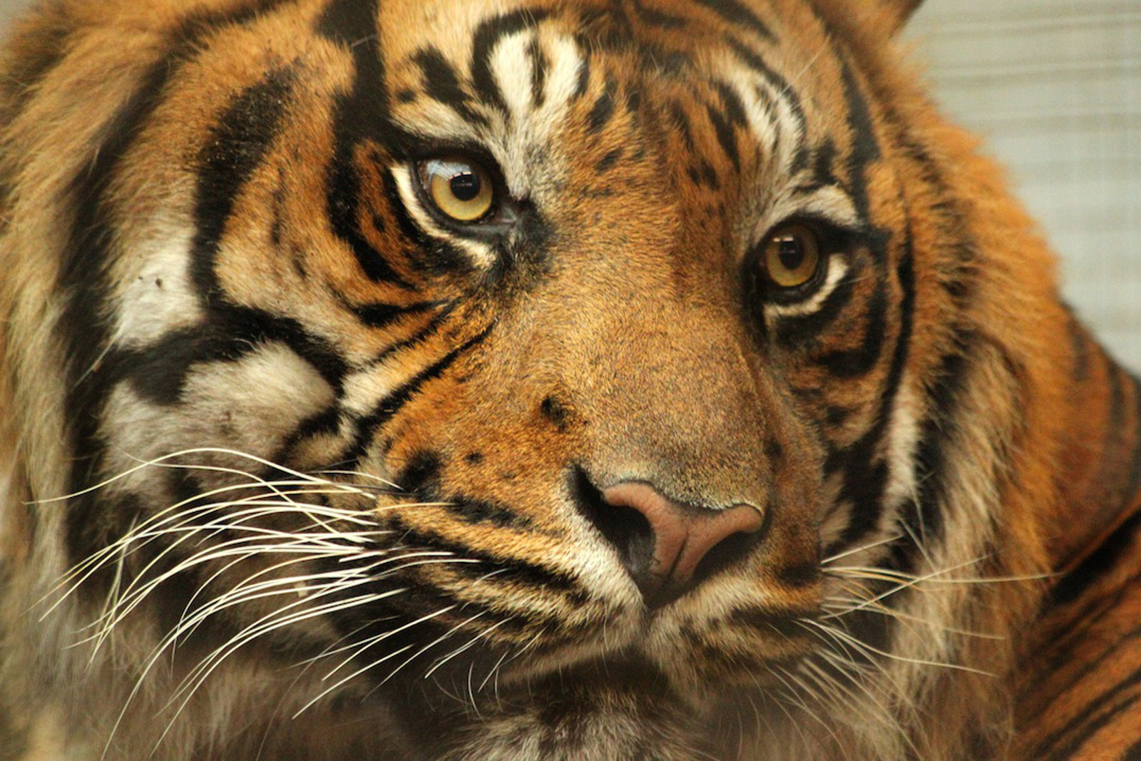 Tigers in Captivity: A Desperate Solution?