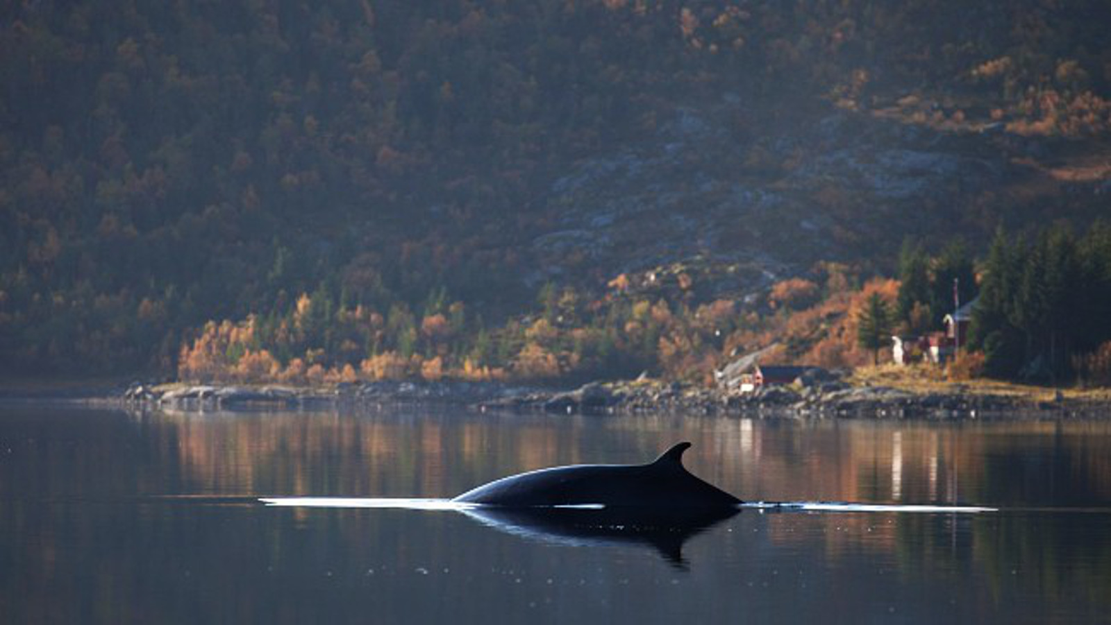 Heiko the Minke Whale, A Flippery Ambassador for Whaling in Norway